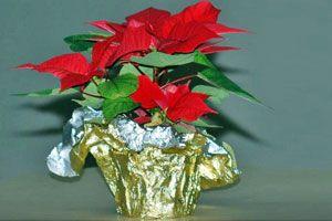 5 plantas para regalar en Navidad