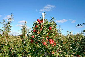 Guía para cultivar árboles frutales. Pasos para plantar árboles frutales. Cómo elegir los frutales para plantar y cultivar