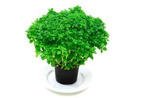Cómo Cultivar Aromáticas