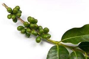 Propiedades y beneficios del café verde. Por qué es bueno consumir café verde. Características del café verde