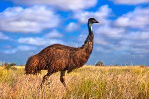 Beneficios y propiedades del aceite de emú. Para qué sirve el aceite de emú. Usos y características del aceite de emú