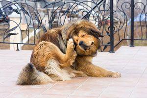 Señales para saber si tu perro tiene sarna. Cómo identificar la sarna en un perro. Tips para reconocer la sarna