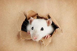 Ilustración de ¿Qué Significa Soñar con Ratas?