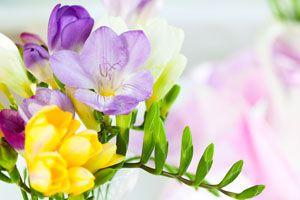 Claves para el cuidado de las fresias. Consejos y mantenimiento de las fresias. Tips para cuidar fresias. Cómo regar y cultivar fresias