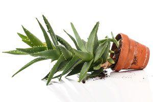 Cómo Reproducir Aloe Vera
