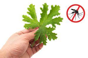 12 Plantas para Ahuyentar los Mosquitos