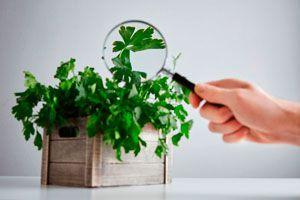 Consejos para cultivar una planta de perejil. Tips para sembrar perejil. Cómo cuidar una planta de perejil. Claves para cultivar perejil y cilantro