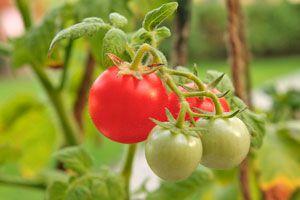 Cómo cultivar tomates en casa. Tips para sembrar tomates. Cómo cuidar un cultivo de tomates. Tips para cultivar tomates en tu huerta