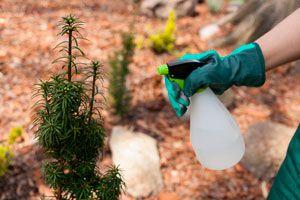 Cómo preparar un insecticida orgánico. Receta para hacer un insecticida casero. Ingredientes para hacer un insecticida casero