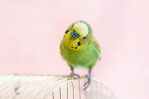 Cómo puedo saber si mi ave es macho o hembra. Cómo saber el sexo de las aves. Tips para descubrir si un ave es macho o hembra