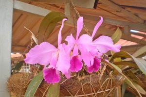 Ilustración de Cómo hacer Orquídeas Colgantes