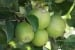 Como cuidar los árboles frutales de los insectos