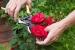 Como hacer para podar los rosales según su tipo