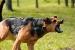 Cómo enseñarle al Perro a Ladrar cuando sea necesario