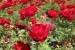 Cómo Cultivar Rosales