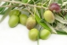 Cómo Conservar las Aceitunas Recién Cosechadas